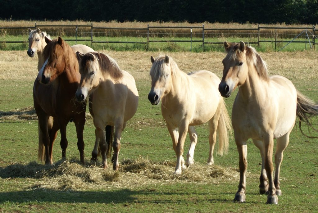 Ponies auf der Koppel