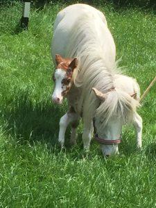 Shetland Pony mit Fohlen
